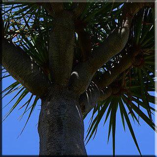Kardeşkanı Ağacı faydaları Kardeşkanı Ağacı zararları ağaçlar