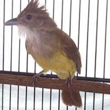 Cara Mengatasi Burung Cucak Jenggot Nyeruduk Karena Over Birahi