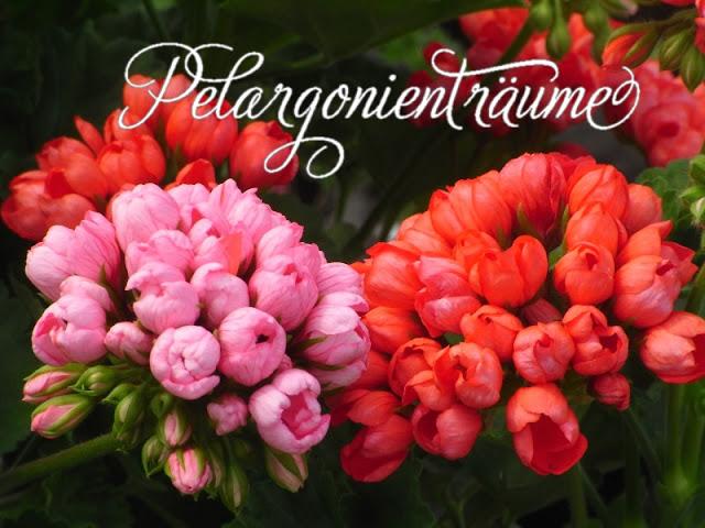 Tulpenpelargonien-Pink-Pandora-Red-Pandora