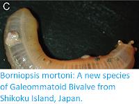 https://sciencythoughts.blogspot.com/2016/09/borniopsis-mortoni-new-species-of.html