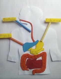 maqueta del sistema digestorio facil