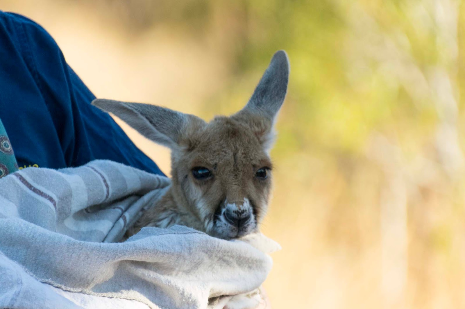 baby joey at the kangaroo sanctuary