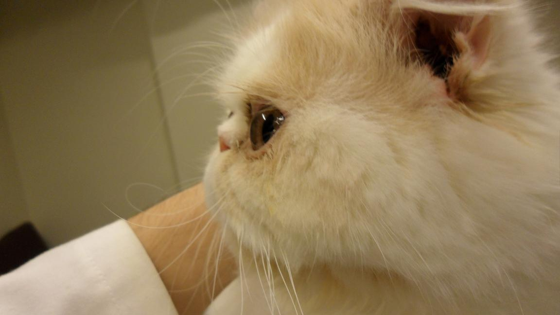 新店喬伊動物醫院 joy veterinary hospital: 耳疥蟲