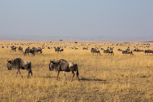 La gran migración en el Masai Mara