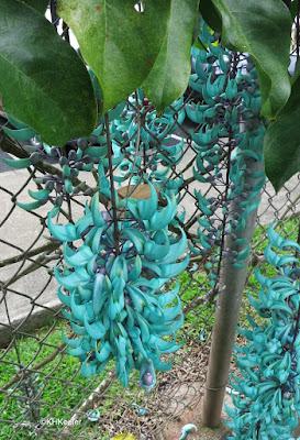 jade vine Strongylodon macrobotrys