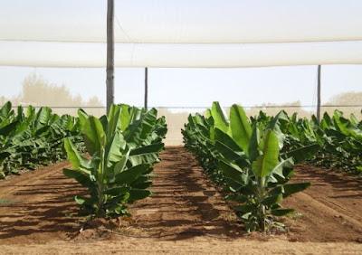 Budidaya pisang tidak terlalu sulit karena tanaman ini bersifat dingin sehingga dapat hidup ditanah yang gambut dan basah.