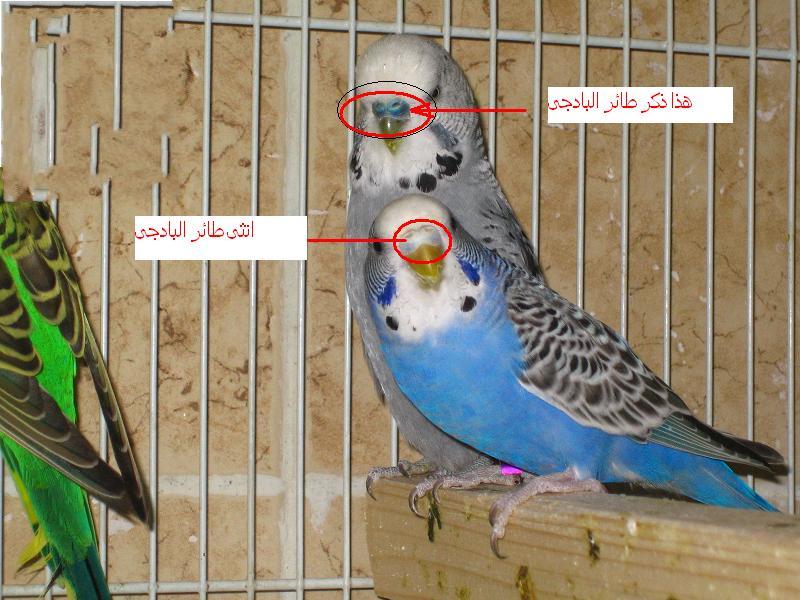أنواع عصافير الزينة وأسمائها Octobre 2017
