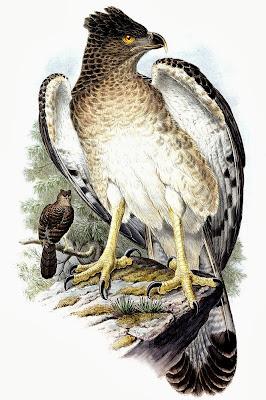 papuan eagle