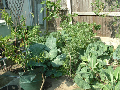 A small garden bed filled with large cabbages and broad bean plants