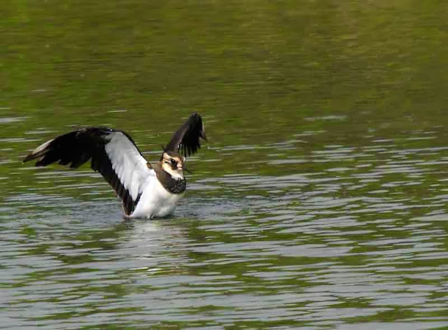 bird, Northern Lapwing bathing in water