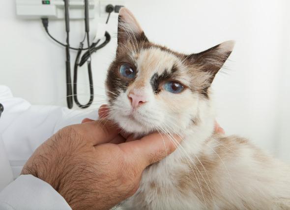 Kenapa Kelenjar Kucing Bengkak (Lymphadenopathy)