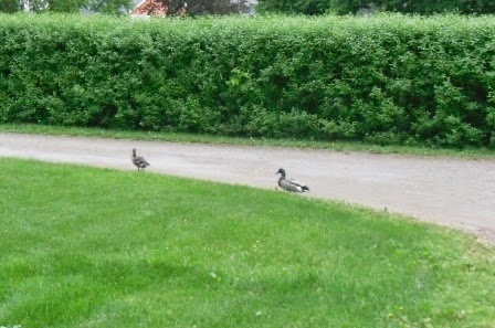 2 friendly ducks out for a stroll