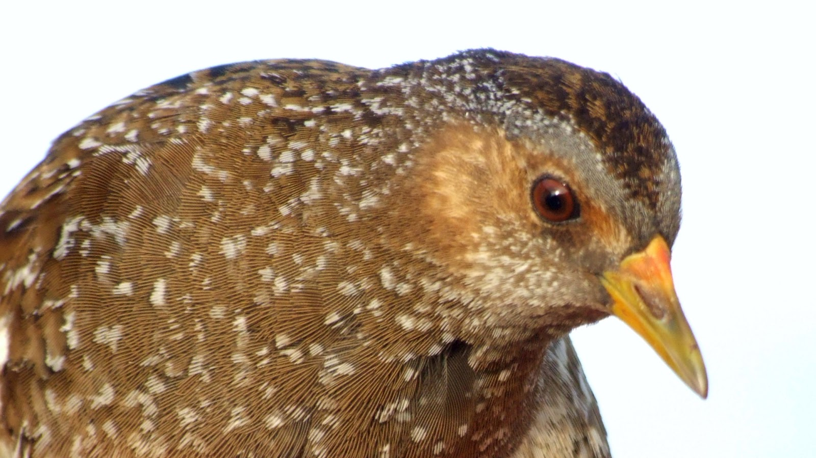 Fair Isle: Spotted Crake in Hand