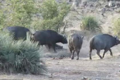Kawanan Kerbau Liar Selamatkan Bayi Gajah yang Diserang Singa