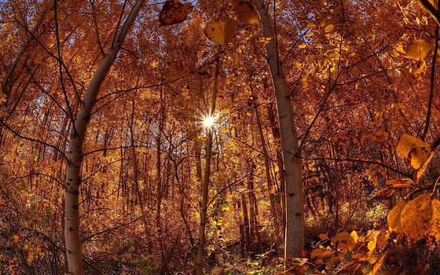 Desktop achtergrond met half kale bomen in een bos, en veel oranje bruine bladeren.