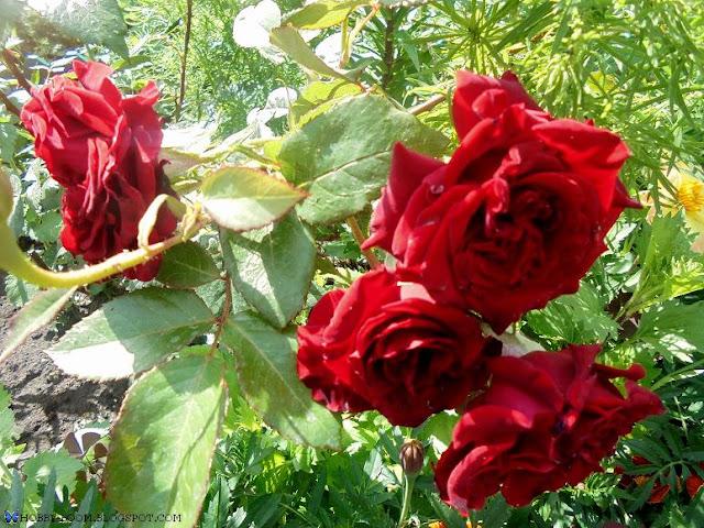 роза мохровая