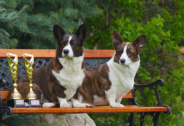 welsh corgi cardigan, wystawa, wystawa psów, podróże z psem, pies, Yuma, champion