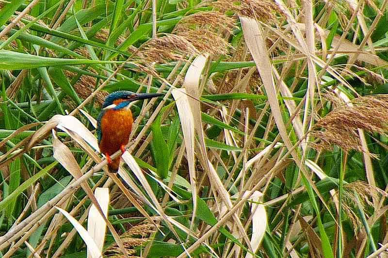 bird, Kingfisher, vegetation