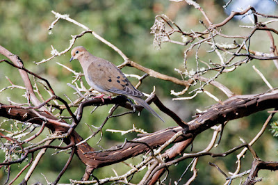 Mourning Dove, Deception Pass State Park