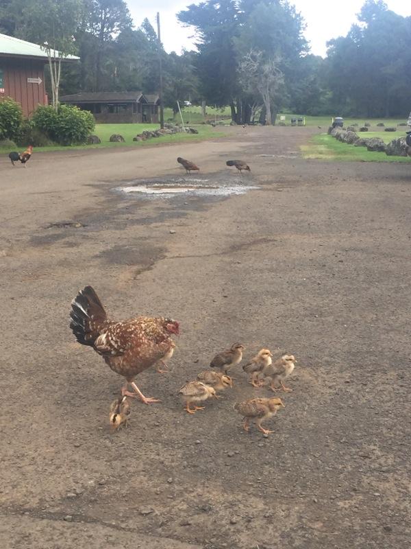 Wild chickens Koke'e Museum Kauai