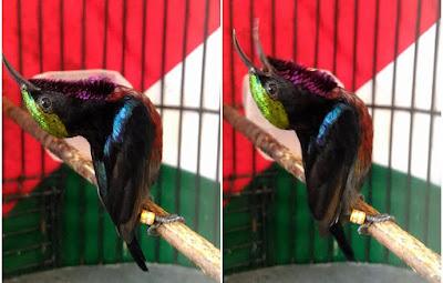 gaya nagen kolibri ninja