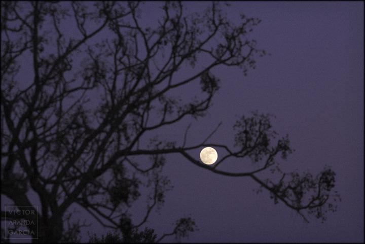 fotografia,luna_llena,arbol,cinamomo,ramas,naturaleza,limites,serie,arte,murcia,fuente_alamo