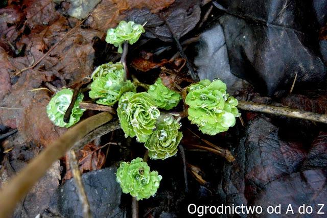 Orlik- rozwijające się liście
