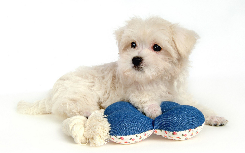 maltese cute puppy | cute puppy pictures | cute dogs ...