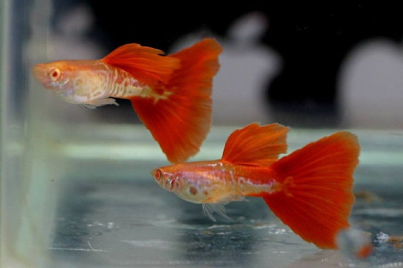 Gambar Jenis Ikan Guppy Import - Ikan Guppy Import Red Tail Cobra / RTC