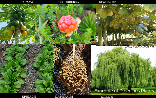 Example of Dioecious Plants