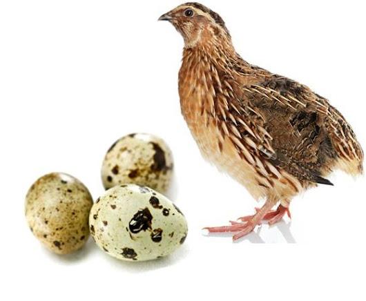 quail farming guide