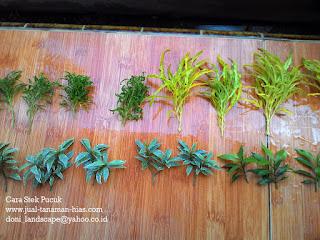 Jual Brokoli Kuning | Khalifah Kuning | Tanaman Hias | Budidaya Dengan Stek Pucuk