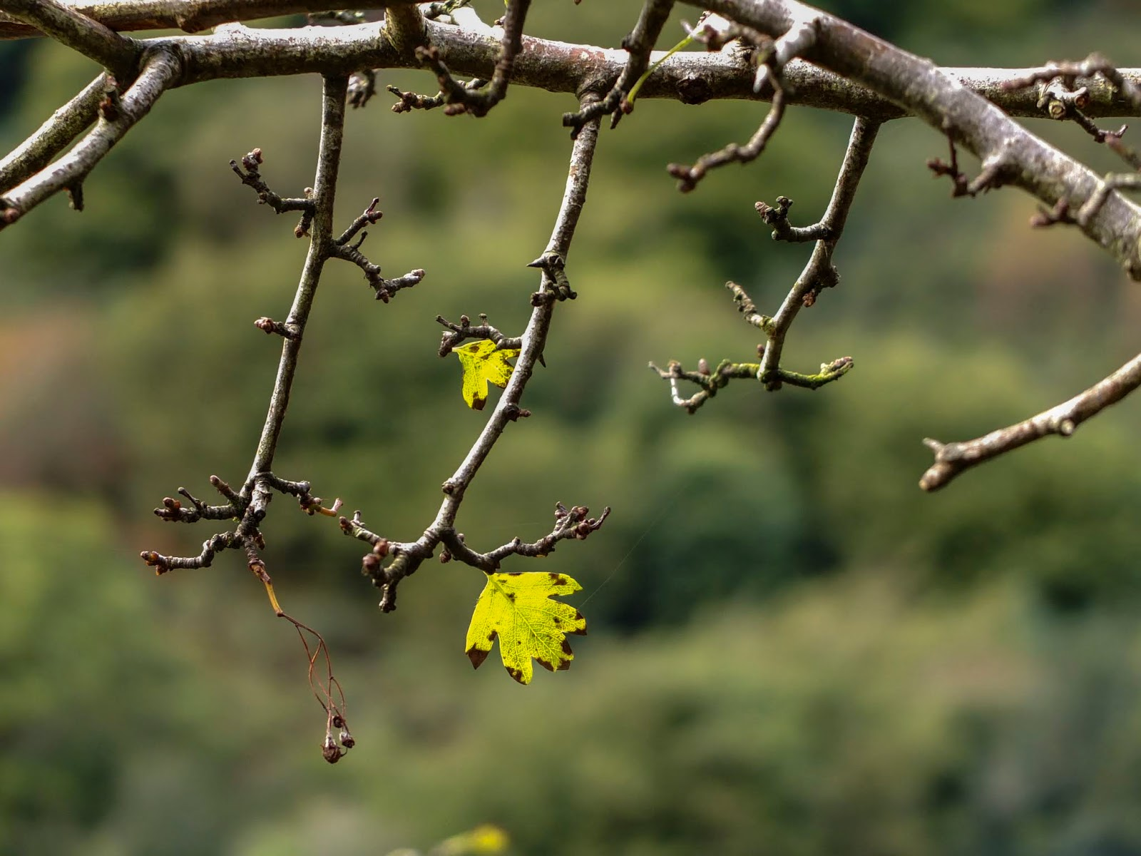 Two small yellow leaves hanging on an almost bare Hawthorn tree branch.