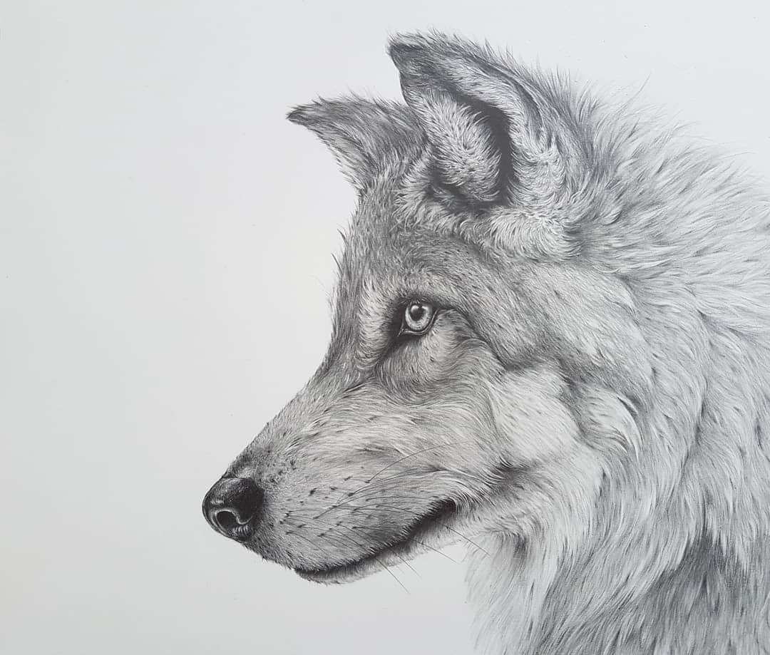 05-Gray-Wolf-Kerry-Jane-Detailed-Black-and-White-Wildlife-Drawings-www-designstack-co