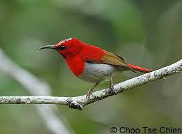 Kolibri Jawa burung kecil penghisap madu