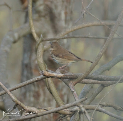 hermit thrush in branches