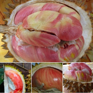 merah durian banyuwangi