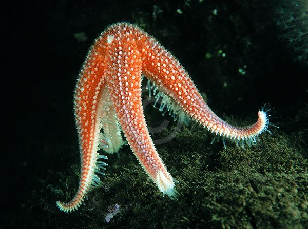 Starfish Standing on their Tippy Toes  The Strangeness of Spawning! fd6e09ede9f