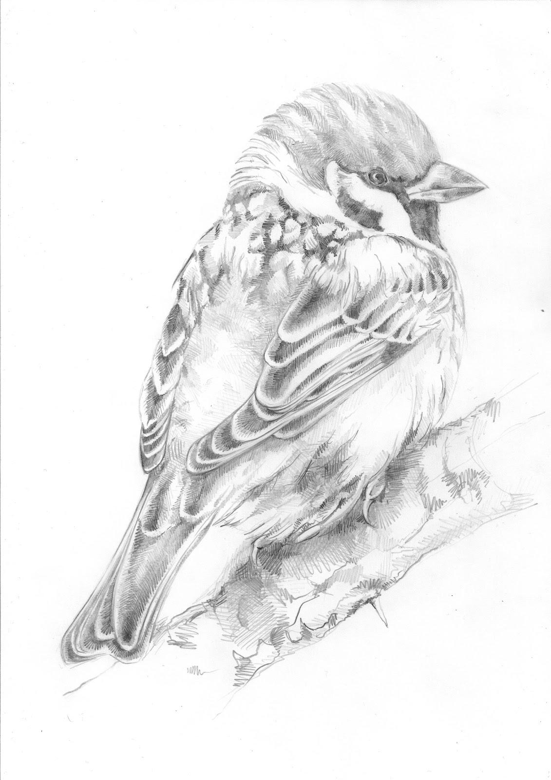 Samuel Birding: Tree Sparrow