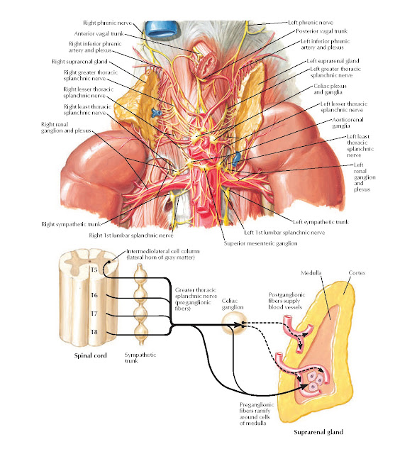 Autonomic Nerves of Suprarenal Glands: Dissection and Schema Anatomy