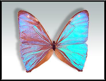 Mariposa cielo Morpho aega