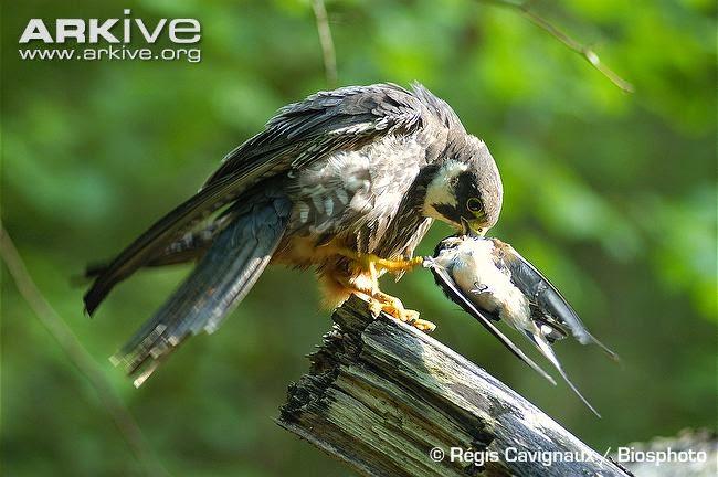 Falco subbuteo Eurasian hobby