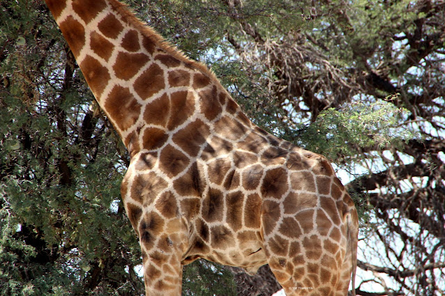 Side of the belly and part of the neck of a giraffe.