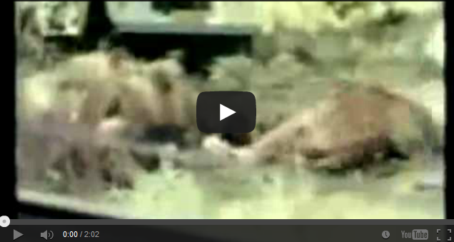 Man starts dancing around like a monkey in front of lion ...  Man Eaten By Lion In Front Of Family