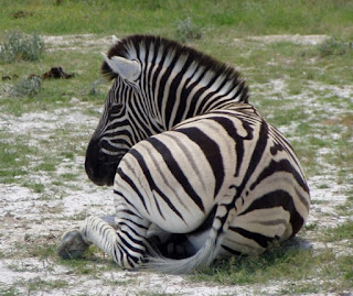 Zebras often travel in mixed herds with other grazers and browsers, such as wildebeest.