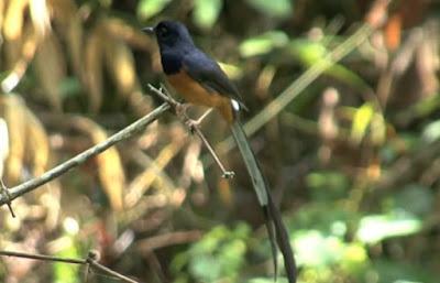 Mengetahui Ciri Ciri Burung Murai Batu Thailand Paling Lengkap Dan Akurat