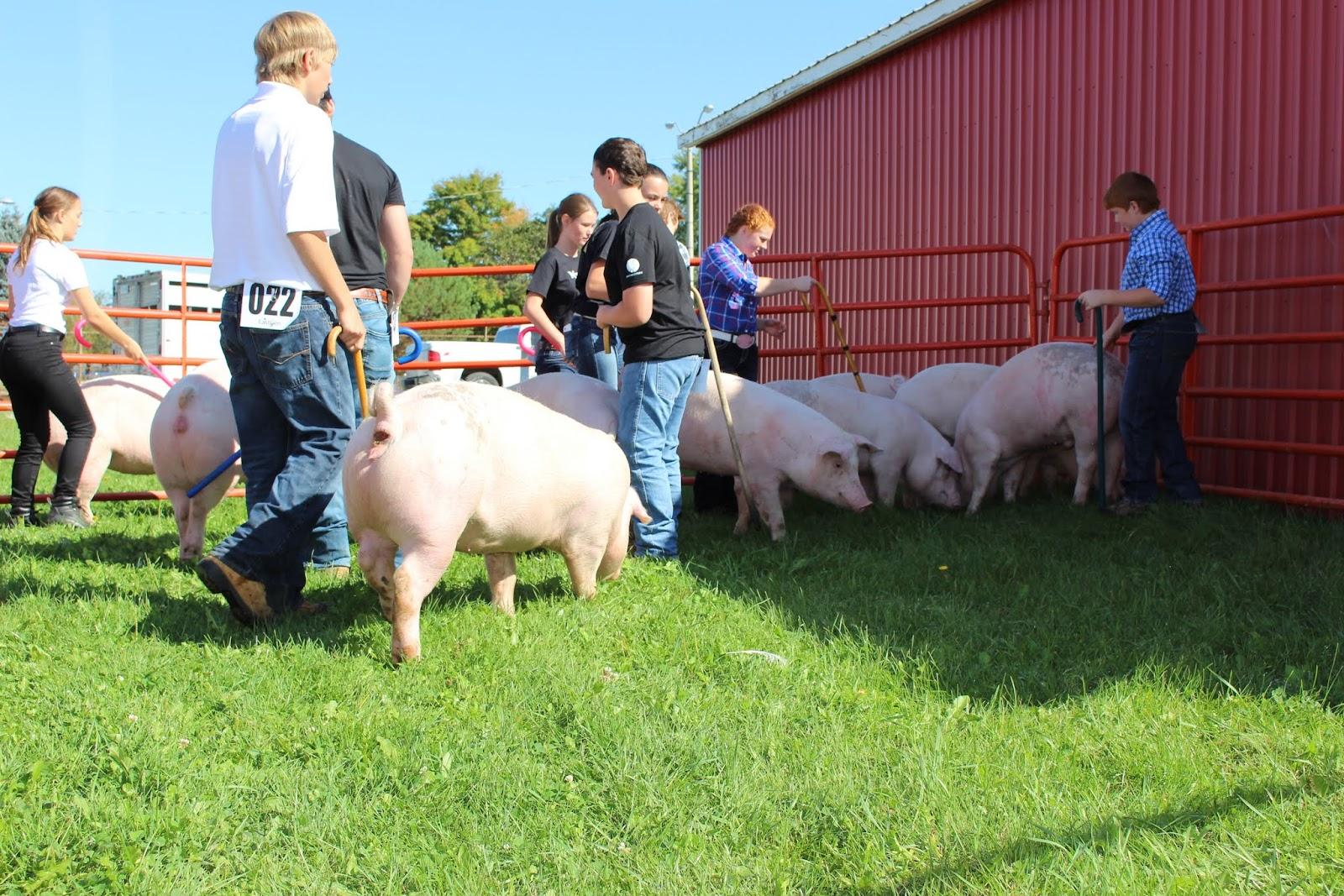 Dwyer S Farmhouse 4 H Pig Show
