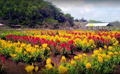 Tempat Wisata Kebun Bunga Celosia Baru di Jogja