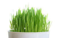 Plant a pot of grass for your cats