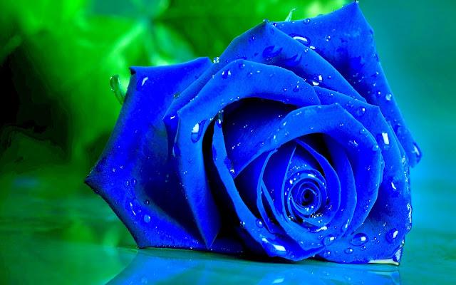 Bông hồng xanh, ảnh bông hoa hồng xanh dương đẹp nhất